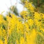花粉症の季節 9月 秋の花粉